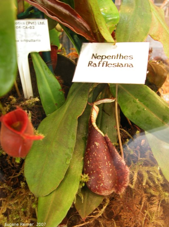 IMG 2007-Mar14 at Assiniboine Park Conservatory:  Rafflesiana monkey-cups (Nepenthes rafflesiana)