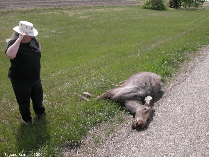 IMG 2007-May20 at TCH-Moosejaw-to-IndianHead:  roadkill Moose (Alces alces) immature