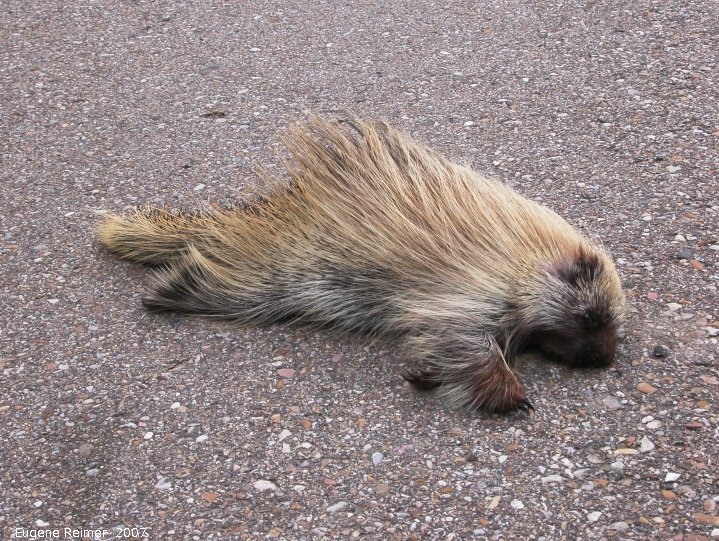 IMG 2007-May22 at Regina-to-MapleCreek:  roadkill Porcupine (Erethizon dorsatum)