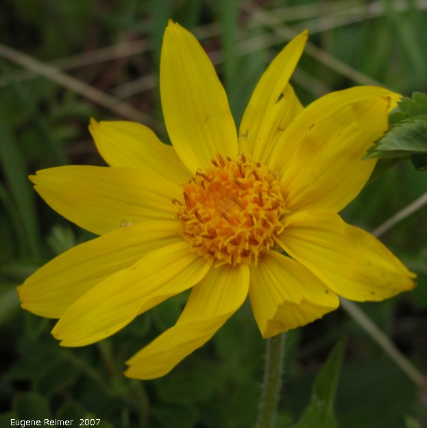 IMG 2007-May23 at CypressHills-CentreBlock:  Heart-leaf arnica (Arnica cordifolia) flower