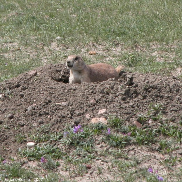 IMG 2007-May25 at Grasslands National-Park:  Black-tailed prairie-dog (Cynomys ludovicianus)