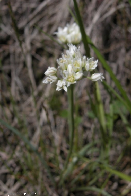 IMG 2007-May25 at Grasslands National-Park:  White onion (Allium textile)