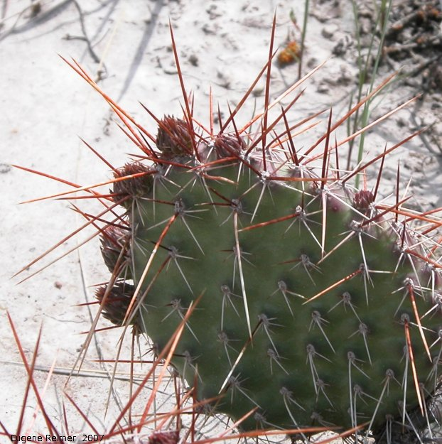 IMG 2007-May25 at Grasslands National-Park:  Plains prickly-pear-cactus (Opuntia polyacantha) or Pincushion cactus (Escobaria vivipara)?