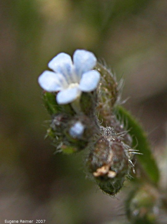 IMG 2007-May25 at Grasslands National-Park:  Blue bur (Lappula echinata) flower
