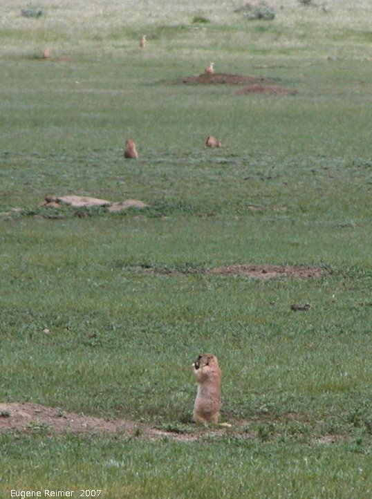 IMG 2007-May25 at Grasslands National-Park:  Black-tailed prairie-dog (Cynomys ludovicianus) colony