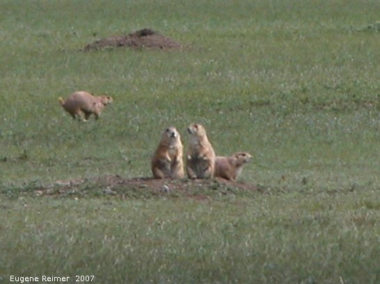 IMG 2007-May25 at Grasslands National-Park:  Black-tailed prairie-dog (Cynomys ludovicianus) threesome and one scampering