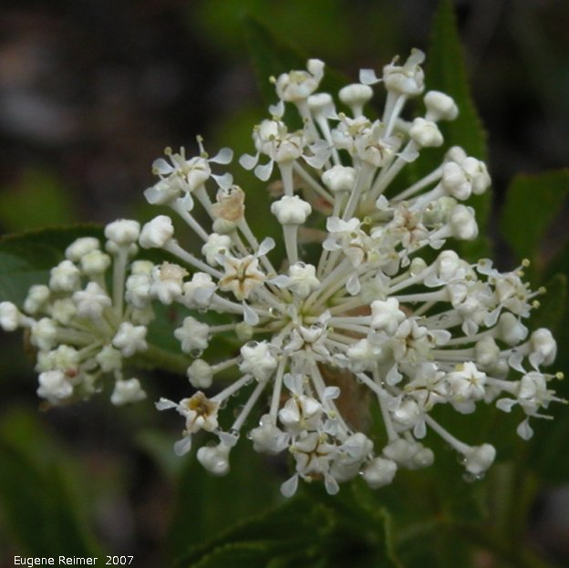 IMG 2007-Jun06 at Woodridge:  New-Jersey tea (Ceanothus herbaceus) flowers