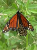 2007-Jun14 at Senkiw Bridge:  Monarch butterfly (Danaus plexippus) pair mating male on top