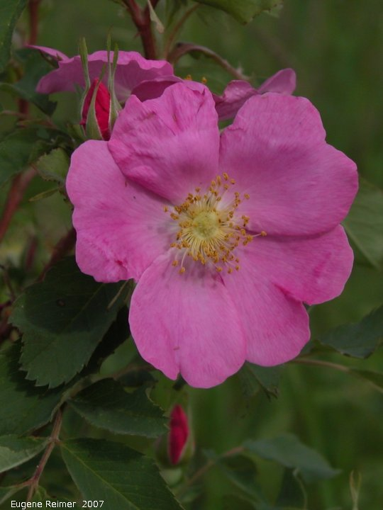 IMG 2007-Jun14 at Roseau River west of Senkiw Bridge:  Prickly rose (Rosa acicularis) dark form