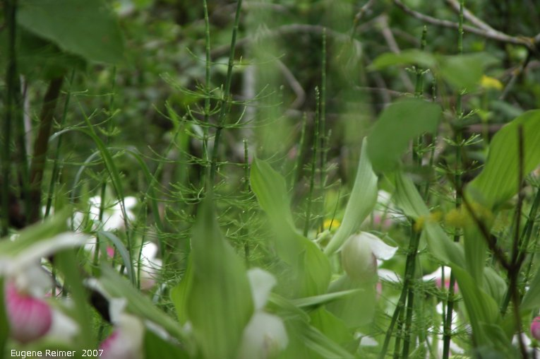 IMG 2007-Jun17 at Senkiw:  Showy ladyslipper (Cypripedium reginae) clump+distant-large-clump BAD