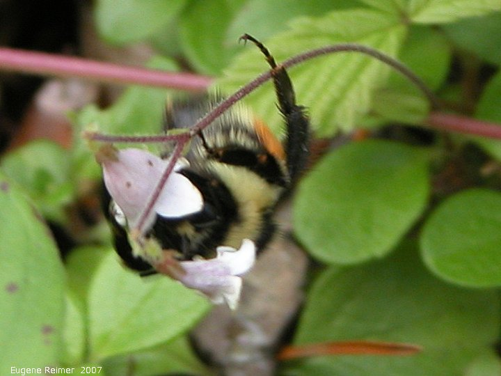 IMG 2007-Jun20 at Road39E near Libau:  Bumblebee (Bombus sp) on Twinflower (Linnaea borealis)