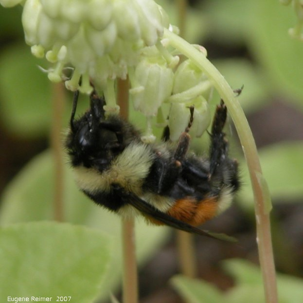 IMG 2007-Jun27 at Rd39E:  Bumblebee (Bombus sp) on One-sided wintergreen (Orthilia secunda)