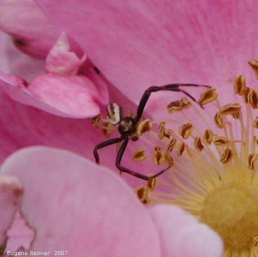 IMG 2007-Jun29 at Woodridge:  Orb spider (Araneidae sp) on Smooth rose (Rosa blanda)