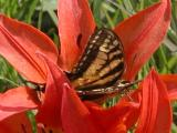 2007-Jun29 at Woodridge:  Tiger swallowtail butterfly (Papilio glaucus) on Wood lily (Lilium philadelphicum)
