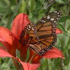 2007-Jun29 at Woodridge:  Monarch butterfly (Danaus plexippus) on Wood lily (Lilium philadelphicum)