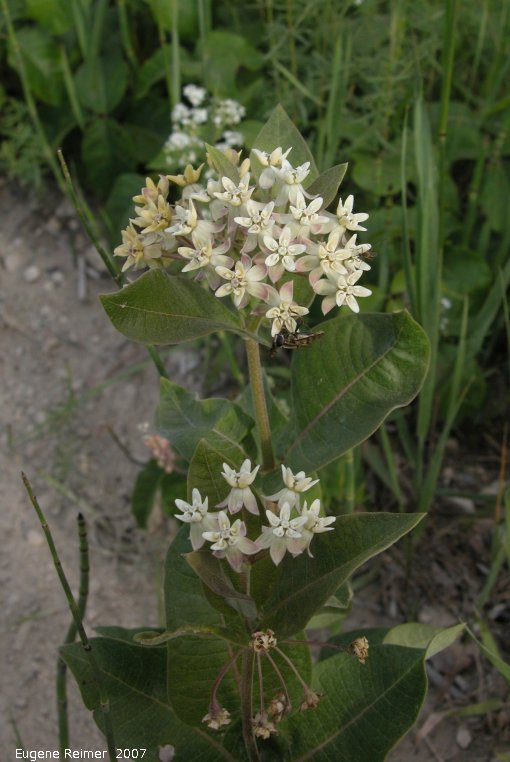 IMG 2007-Jun29 at Forestry-Rd-4:  Dwarf white milkweed (Asclepias ovalifolia) plant