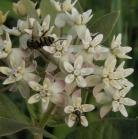 2007-Jun29 at Forestry-Rd-4:  Dwarf white milkweed (Asclepias ovalifolia) flowers with Insect (Insecta sp) many