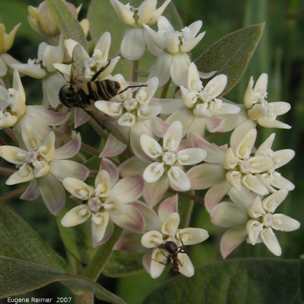 IMG 2007-Jun29 at Forestry-Rd-4:  Dwarf white milkweed (Asclepias ovalifolia) flowers with Insect (Insecta sp) many