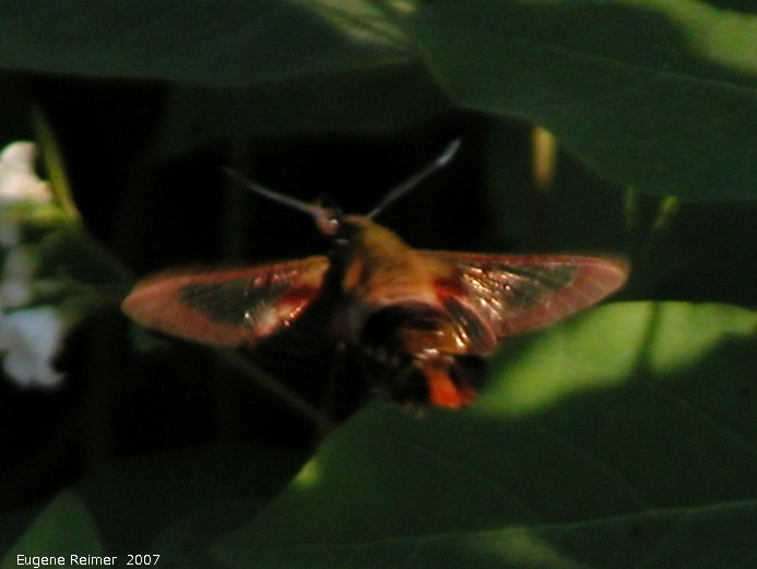 IMG 2007-Jun29 at Forestry-Rd-4:  Hummingbird moth=clear-wing sphinx-moth (Hemaris thysbe) on Dogbane (Apocynum sp)