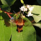2007-Jun29 at Forestry-Rd-4:  Hummingbird moth=clear-wing sphinx-moth (Hemaris thysbe) on Dogbane (Apocynum sp)