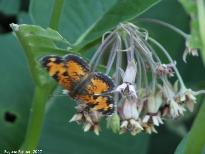 IMG 2007-Jul06 at Hadashville:  Pearl-crescent butterfly (Phyciodes tharos) on Milkweed (Asclepias sp)