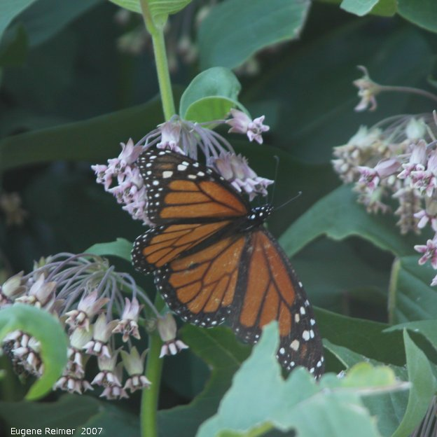 IMG 2007-Jul06 at Hadashville:  Monarch butterfly (Danaus plexippus) on Milkweed (Asclepias sp)