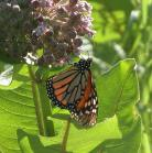 2007-Jul06 at TCH1 near FalconLake:  Monarch butterfly (Danaus plexippus) on Milkweed (Asclepias sp)