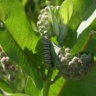 2007-Jul06 at TCH1 near FalconLake:  Monarch butterfly (Danaus plexippus) caterpillar on Milkweed (Asclepias sp)