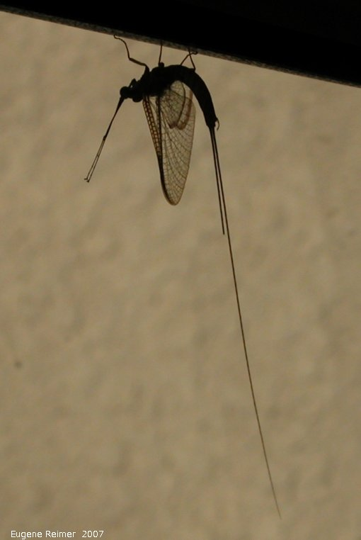 IMG 2007-Jul06 at FalconLake:  Fishfly (Chauliodinae sp) on rearview-mirror