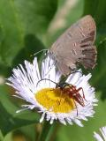 2007-Jul14 at BirdsHillPark:  Six-banded longhorn-beetle (Dryobius sexnotatus) and Banded hairstreak butterfly (Satyrium calanus) on Fleabane (Erigeron sp)