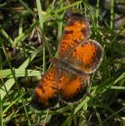 2007-Jul14 at BirdsHillPark:  Pearl-crescent butterfly (Phyciodes tharos)