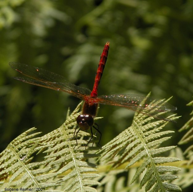 IMG 2007-Jul28 at MNS Garden-Tour:  Meadowhawk dragonfly (Sympetrum sp) male on Fern (Pteridophyta sp)