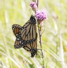 2007-Aug11 at SenkiwRd:  Monarch butterfly (Danaus plexippus) pair mating on Meadow blazing-star (Liatris ligulistylis) brighter