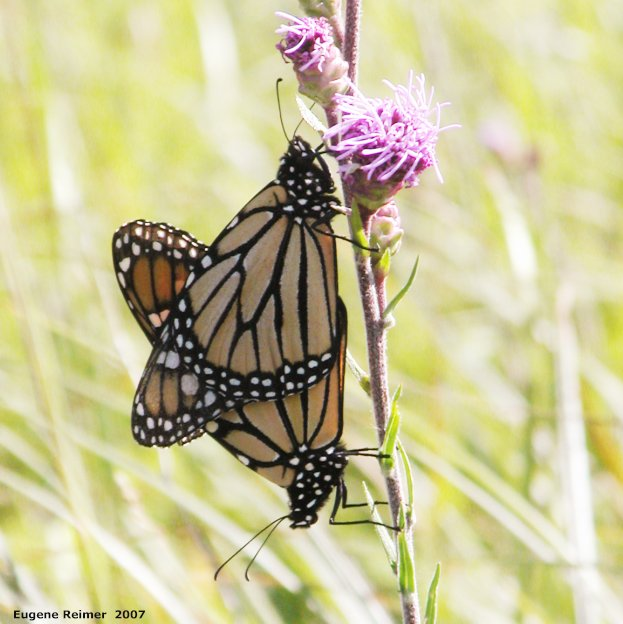 IMG 2007-Aug11 at SenkiwRd:  Monarch butterfly (Danaus plexippus) pair mating on Meadow blazing-star (Liatris ligulistylis) brighter