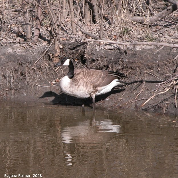 IMG 2008-Apr16 at SeineRiver near MorrowAve:  Canada goose (Branta canadensis)
