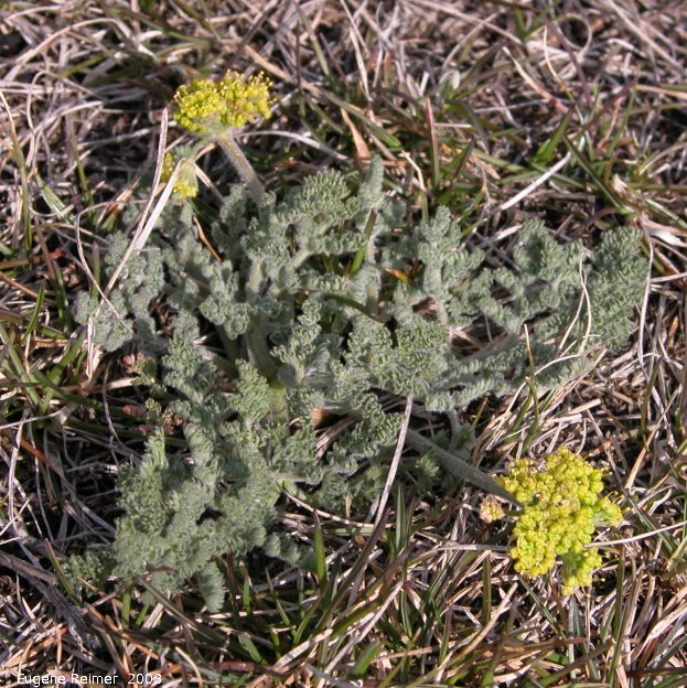 IMG 2008-May13 at Steeprock MB:  Hairy-fruited parsley (Lomatium foeniculaceum)