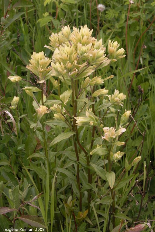 IMG 2008-Jun26 at AlaskaHwy NW of DawsonCreek BC:  Sulpher paintbrush (Castilleja sulphurea) plant