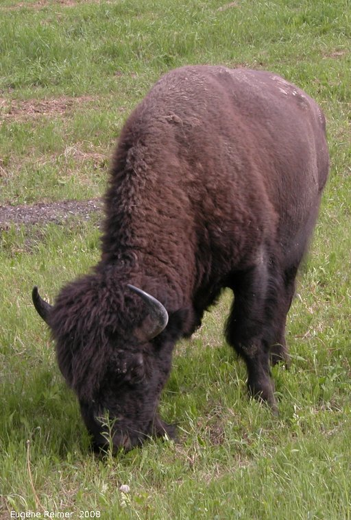IMG 2008-Jun27 at AlaskaHwy near NorthernRockiesLodge:  Wood bison (Bison bison athabascae)