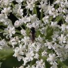 2008-Jun27 at LiardHotsprings:  Cow parsnip (Heracleum maximum) flowers with Fly (Diptera sp)