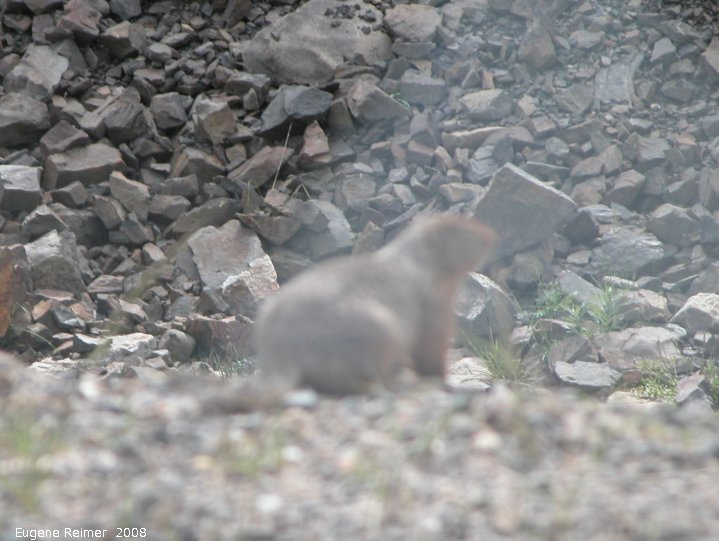 IMG 2008-Jul01 at DempsterHwy N of the arctic-circle:  Arctic ground-squirrel (Spermophilus parryii) bad