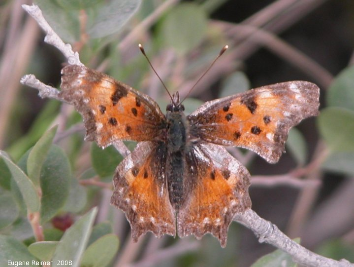 IMG 2008-Jul01 at DempsterHwy N of MackenzieRiver-ferry:  Grey comma butterfly (Polygonia progne)