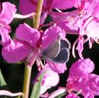 2008-Jul04 at Inuvik:  Blue butterfly (Polyommatinae sp)? on Fireweed (Epilobium angustifolium)