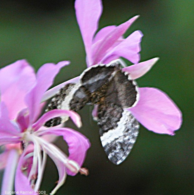 IMG 2008-Jul04 at Inuvik:  White admiral butterfly (Limenitis arthemis)? or Grizzled skipper (Pyrgus sp) on Fireweed (Epilobium angustifolium)