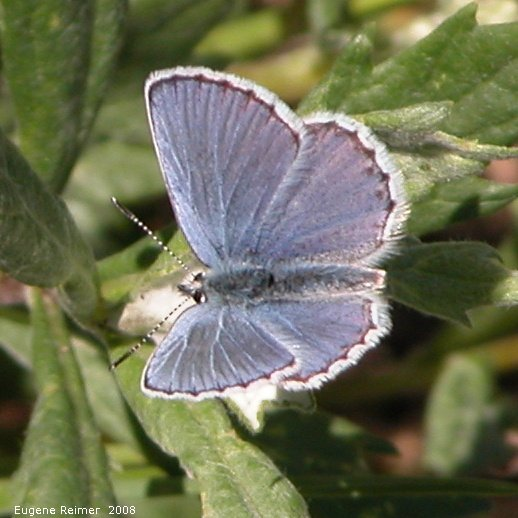 IMG 2008-Jul04 at Inuvik:  Blue butterfly (Polyommatinae sp)