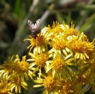 2008-Jul04 at Inuvik:  Blacktip ragwort (Senecio lugens) and Fly (Diptera sp)