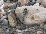 2008-Jul05 at PeelRiver-ferry:  Variable darner dragonfly (Aeshna interrupta) on stone