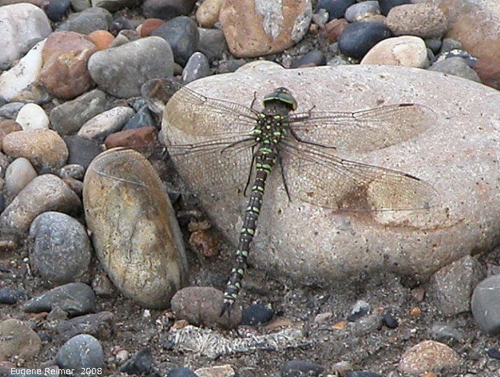 IMG 2008-Jul05 at PeelRiver-ferry:  Variable darner dragonfly (Aeshna interrupta) on stone