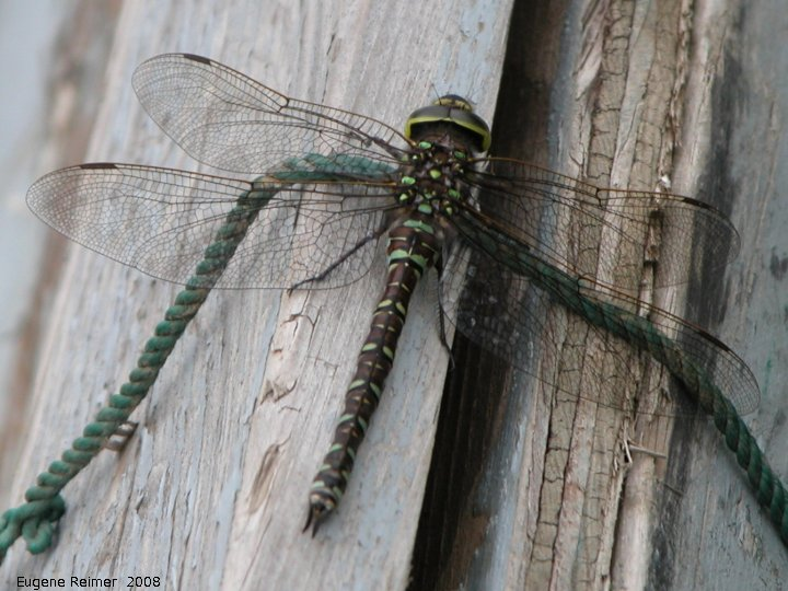 IMG 2008-Jul05 at PeelRiver-ferry:  Variable darner dragonfly (Aeshna interrupta) on boat