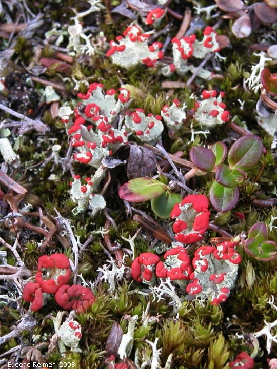 IMG 2008-Jul08 at near SnagJunction-YT:  British soldiers (Cladonia cristatella) and Pixie-cup club-lichen (Cladonia sp)