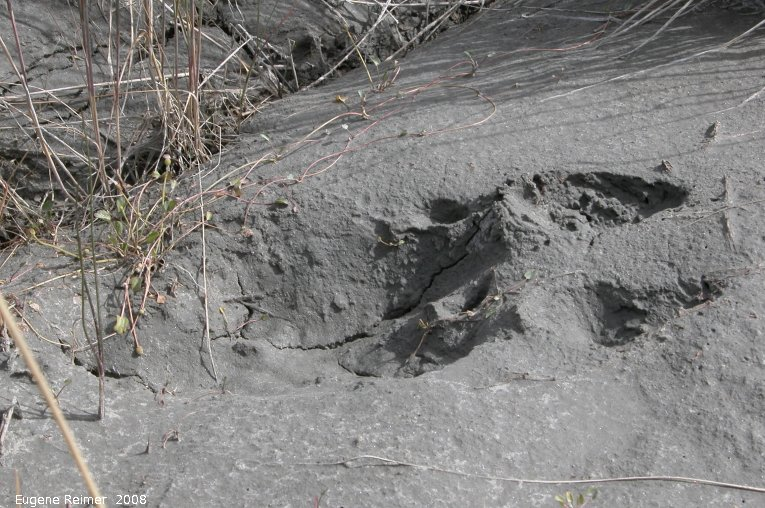 IMG 2008-Jul09 at SheepMountainVisitorCentre SE of BeaverCreek-YT:  Caribou (Rangifer tarandus)? hoofprint